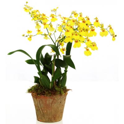 Orquidea Chuva-de-Ouro