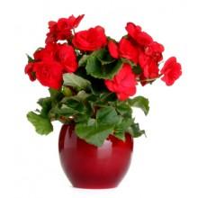 Planta Begonia Vermelha