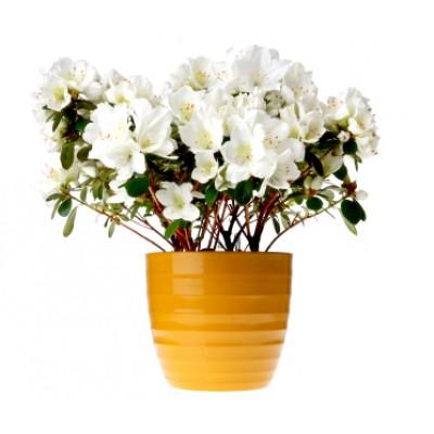 White Azalea Plant