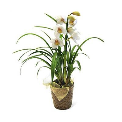 Cybidium Orchid