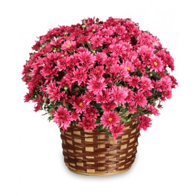 Cheerful Mums Plant