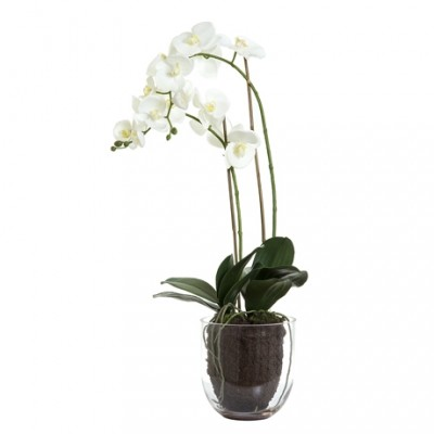Duo of White Orchids