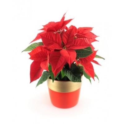 /poinsettia-plant-brazil