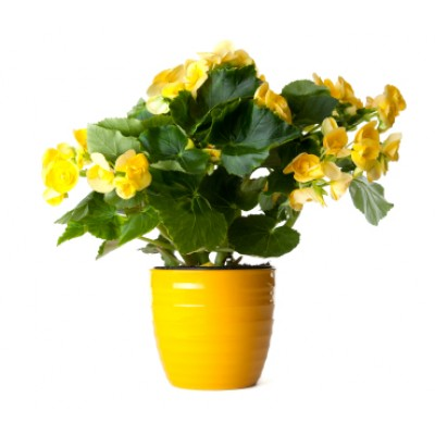 Yellow Begonia Plant