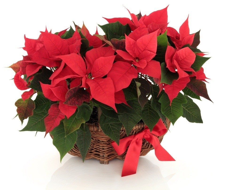 Send Christmas Flowers To Brazil Duo Poinsettia Plant Floresnaweb