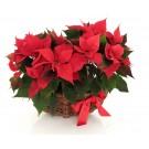 /two-poinsettia-plants-in-wicker-basket