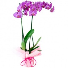Duo of Pink Orchids