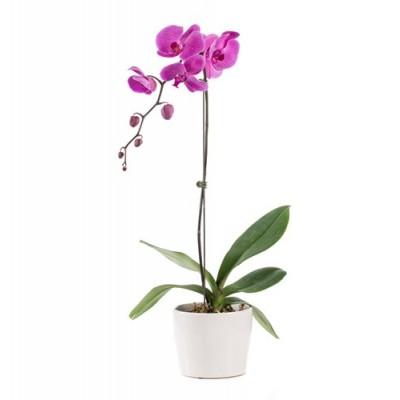 Orquidea Phalaenopsis Rosa Espanol