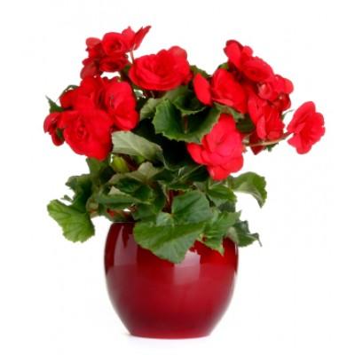 Planta Begonia Roja