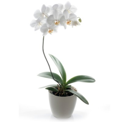 Orquidea Phalaenopsis Blanca Espanol