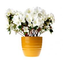 Planta Azalea Blanca