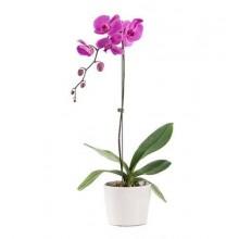 envio-orquidea-rosa-espana