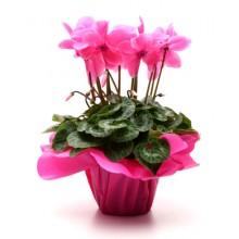 Planta Ciclamen Rosa