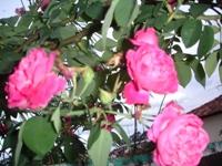 Foto da mini rosa linda flor