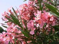 Foto da flor Espirradeira