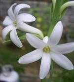 Foto da flor Angélica