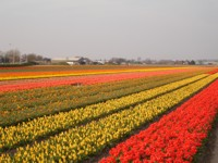 Foto da flor Tulipa