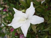 Foto da flor azaleia em local decorativo.