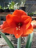 Foto da flor Amarílis para presente