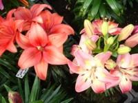 Foto da flor Lírio para presente