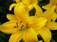Imagem da Lírio flor para presente e decoração