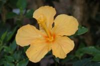 Foto da flor Hibisco para presente