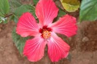 Imagem da Hibisco flor para decoração