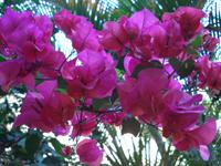 Foto da flor Primavera
