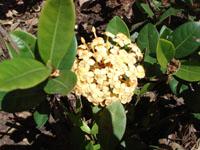 Foto da flor Ixora