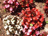 Foto da flor Begônia