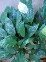Foto da Flor da Paz ideal para decoração