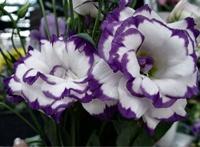 Foto da flor Lisianto