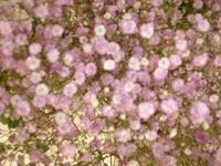 Foto da flor Gipsofila