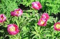 Foto da flor Peônia