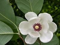 Foto da flor Magnólia