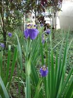 Foto da flor Íris para presente