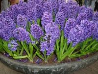 Imagem Jacinto flor para presente