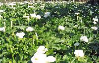 Foto da flor Copo de Leite