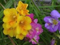 Foto da flor Frésia
