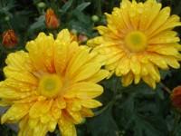 Imagem da flor Crisântemo